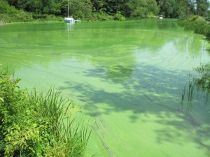 Blue Green Algae in septic system